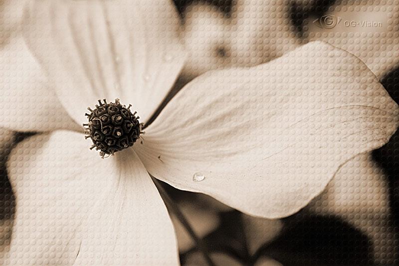 Blossom in Sepia