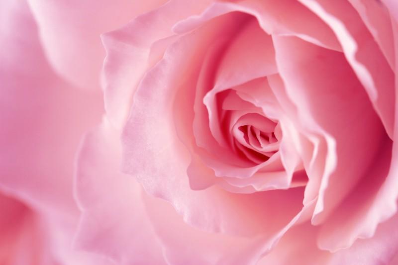 Pink-Rose