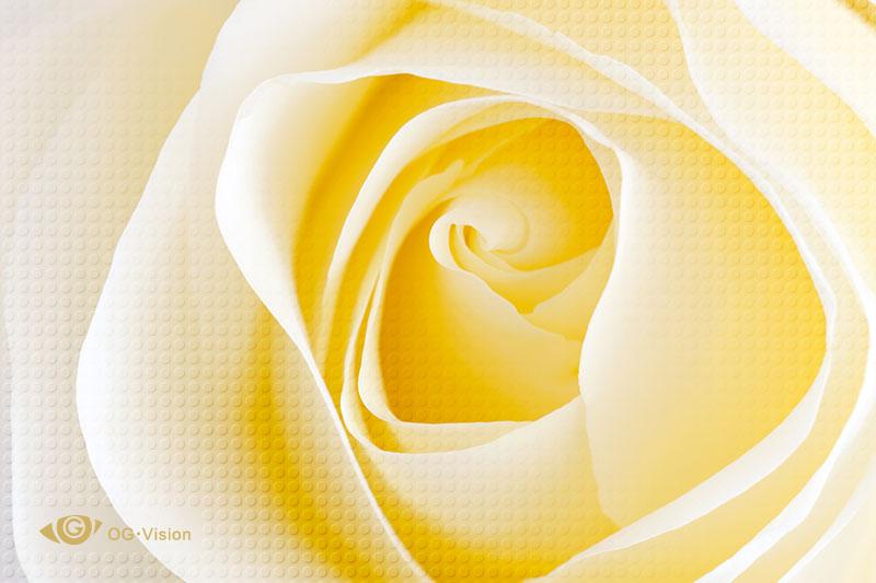 White-Rose-Macro